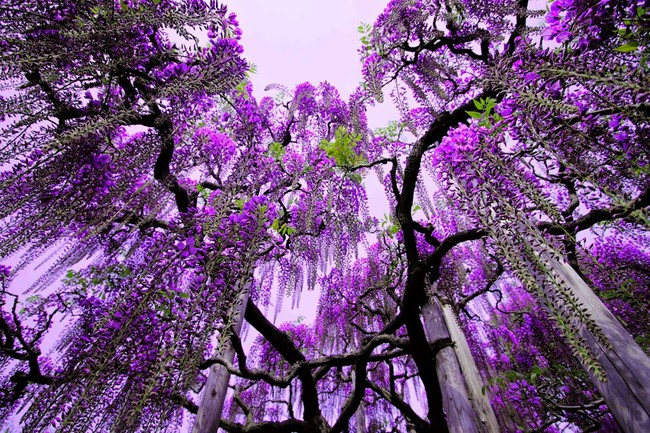Lên lịch tháng 4 đi Nhật ngắm đường hoa tử đằng kỳ ảo - Ảnh 7.