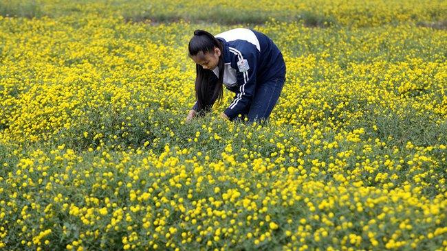 Nữ sinh nườm nượp rủ nhau kiếm tiền trên cánh đồng đẹp như mơ - Ảnh 7.
