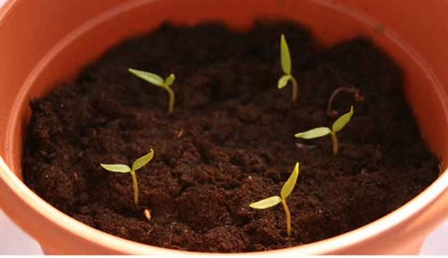 Cách trồng siêu dễ cho 6 loại cây gia vị không thể thiếu trong bữa cơm gia đình Việt - Ảnh 16.