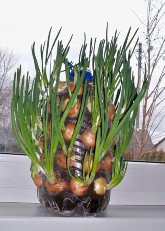 Cách trồng siêu dễ cho 6 loại cây gia vị không thể thiếu trong bữa cơm gia đình Việt - Ảnh 4.