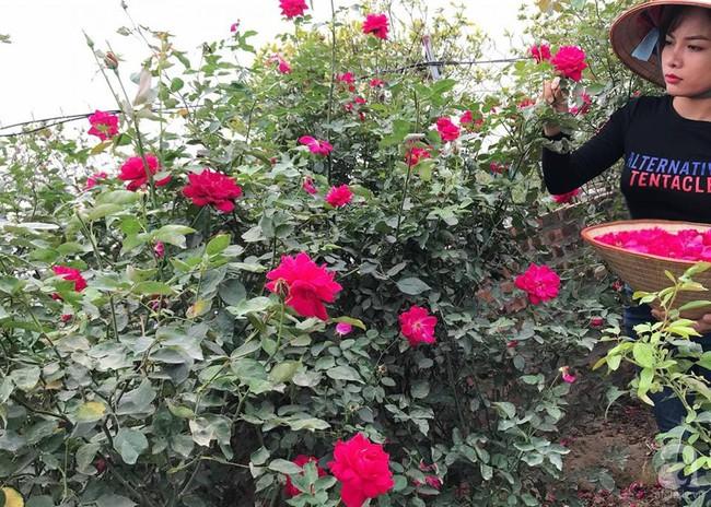 Choáng ngợp trước vườn hoa hồng vài nghìn gốc của mẹ trẻ xinh đẹp ở Thái Nguyên - Ảnh 2.