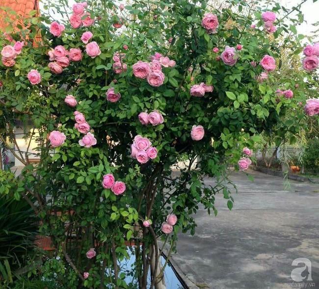 Choáng ngợp trước vườn hoa hồng vài nghìn gốc của mẹ trẻ xinh đẹp ở Thái Nguyên - Ảnh 14.