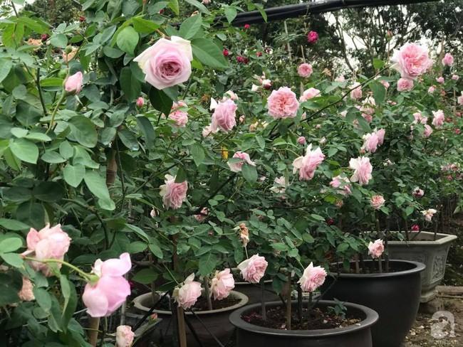 Choáng ngợp trước vườn hoa hồng vài nghìn gốc của mẹ trẻ xinh đẹp ở Thái Nguyên - Ảnh 15.