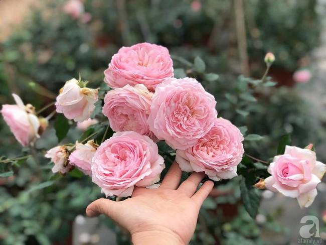 Choáng ngợp trước vườn hoa hồng vài nghìn gốc của mẹ trẻ xinh đẹp ở Thái Nguyên - Ảnh 10.