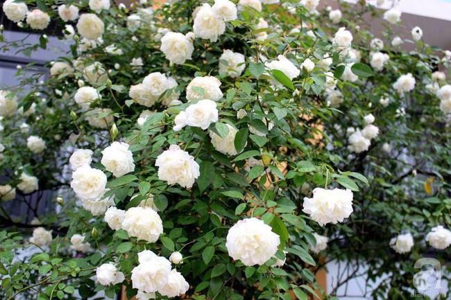 Choáng ngợp trước vườn hoa hồng vài nghìn gốc của mẹ trẻ xinh đẹp ở Thái Nguyên - Ảnh 9.