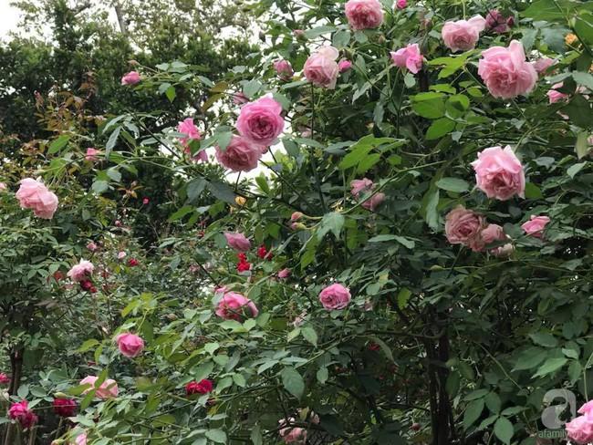 Choáng ngợp trước vườn hoa hồng vài nghìn gốc của mẹ trẻ xinh đẹp ở Thái Nguyên - Ảnh 8.