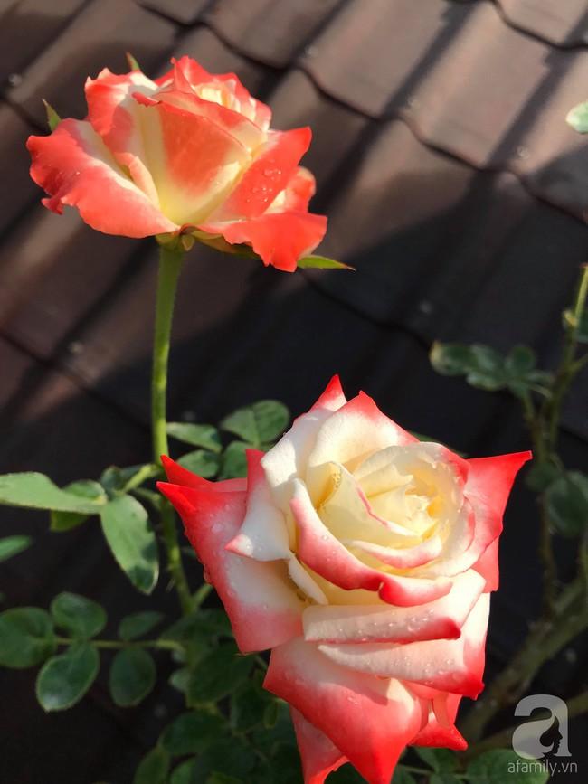 Sau 3 năm trồng hoa hồng, người phụ nữ Hà Nội đã sở hữu một vườn hồng thơm ngào ngạt trên sân thượng - Ảnh 10.