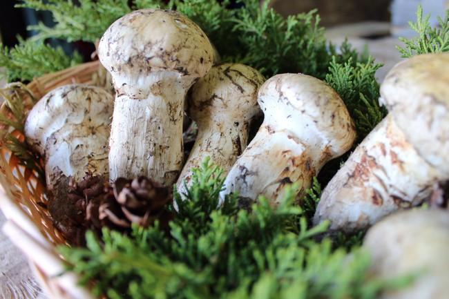 Khám phá matsutake - loại nấm đắt nhất thế giới mang trọn vẹn hương vị mùa thu Nhật Bản, 50 triệu/kg mà vẫn cháy hàng - Ảnh 5.