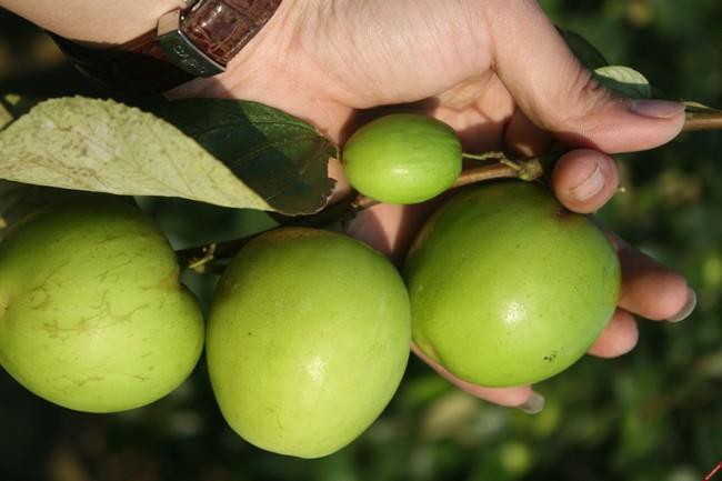 Có một loại quả sắp đến chính vụ tốt hơn cả 100 lần táo đỏ: Hãy tận dụng để làm thuốc chữa bệnh, dưỡng nhan! - Ảnh 4.