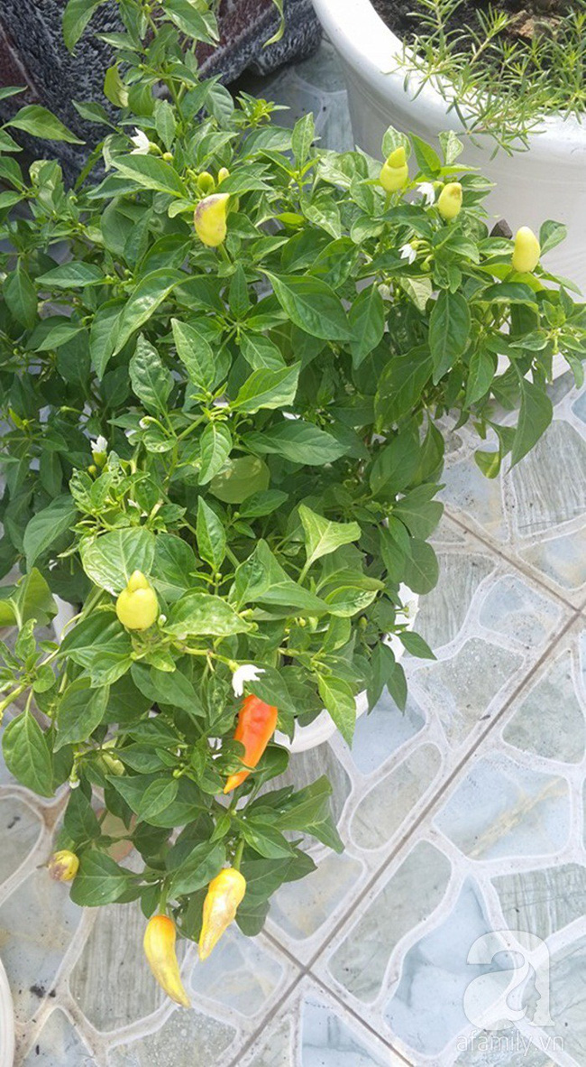 Kinh nghiệm trồng cả vườn cây trái xum xuê như trang trại trên sân thượng của mẹ đảm ở Biên Hòa - Ảnh 19.