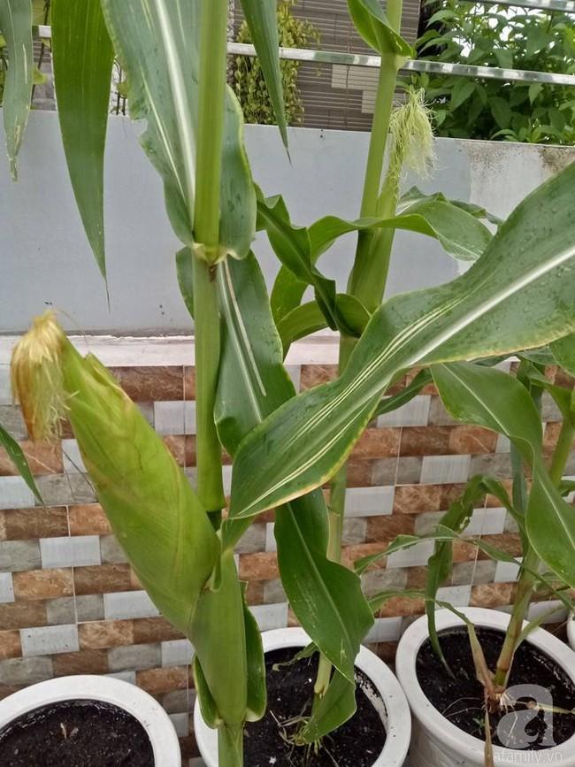 Kinh nghiệm trồng cả vườn cây trái xum xuê như trang trại trên sân thượng của mẹ đảm ở Biên Hòa - Ảnh 18.
