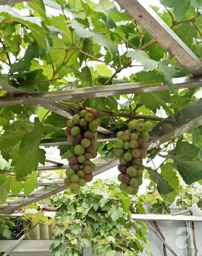 Kinh nghiệm trồng cả vườn cây trái xum xuê như trang trại trên sân thượng của mẹ đảm ở Biên Hòa - Ảnh 13.