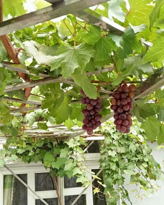 Kinh nghiệm trồng cả vườn cây trái xum xuê như trang trại trên sân thượng của mẹ đảm ở Biên Hòa - Ảnh 12.