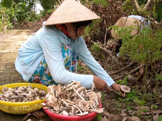 Nấm mối - lộc trời cho thơm ngon, đắt giá nhất Việt Nam và chuyến hành trình săn tìm đầy gian khó mỗi mùa mưa - Ảnh 3.