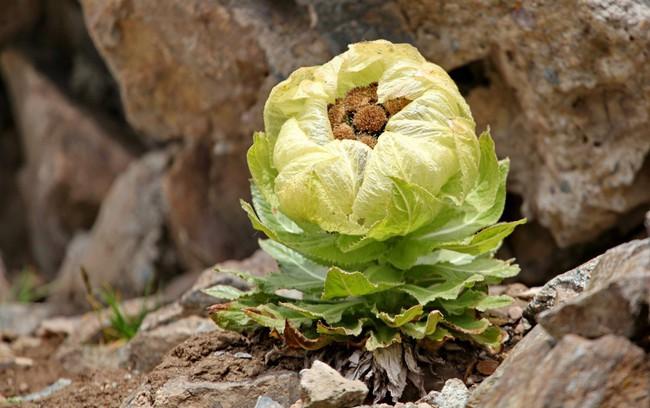 Thiên sơn tuyết liên: Hoa sen cực hiếm của Tây Tạng, 7 năm mới nở 1 lần trên núi tuyết, giá 5 triệu/hoa - Ảnh 4.