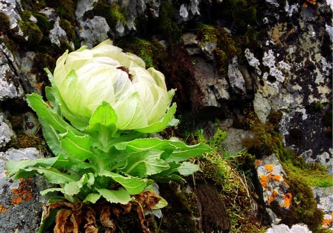 Thiên sơn tuyết liên: Hoa sen cực hiếm của Tây Tạng, 7 năm mới nở 1 lần trên núi tuyết, giá 5 triệu/hoa - Ảnh 2.
