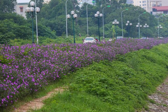 Người Hà Nội thích thú với con đường hoa chiều tím dài hơn 1km vô cùng thơ mộng ven sông Tô Lịch - Ảnh 2.