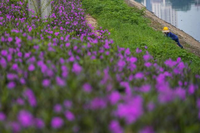 Người Hà Nội thích thú với con đường hoa chiều tím dài hơn 1km vô cùng thơ mộng ven sông Tô Lịch - Ảnh 5.