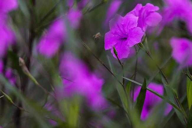 Người Hà Nội thích thú với con đường hoa chiều tím dài hơn 1km vô cùng thơ mộng ven sông Tô Lịch - Ảnh 7.