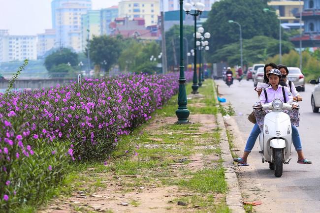 Người Hà Nội thích thú với con đường hoa chiều tím dài hơn 1km vô cùng thơ mộng ven sông Tô Lịch - Ảnh 3.