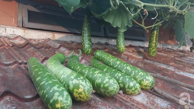 Khu vườn sân thượng tuy nhỏ nhưng bạt ngàn rau sạch của người chồng dồn sức chăm bón cho vợ con ở Vũng Tàu - Ảnh 8.