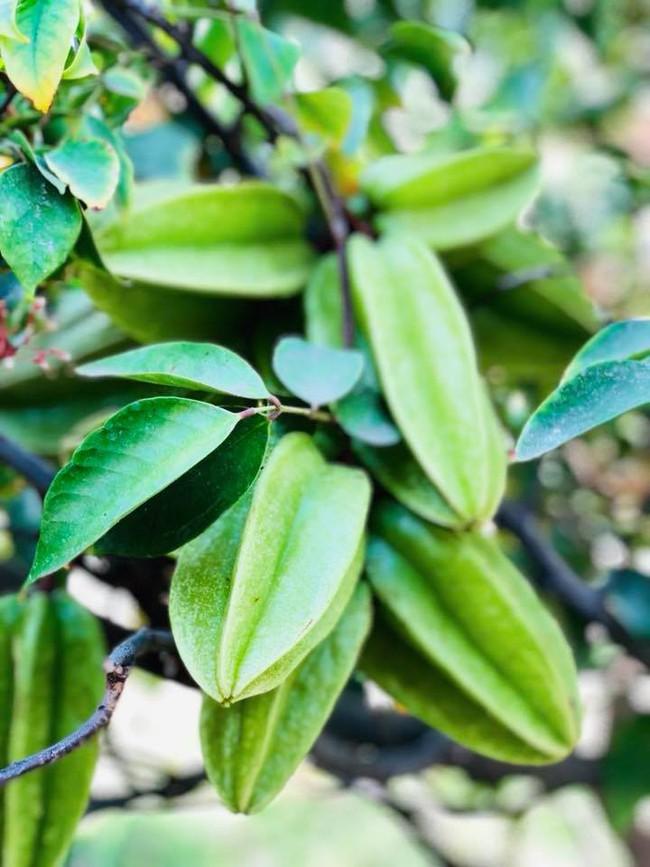 Khu vườn đủ các loại cây quả mang hương vị quê nhà của ca sĩ Bằng Kiều ở Mỹ - Ảnh 6.