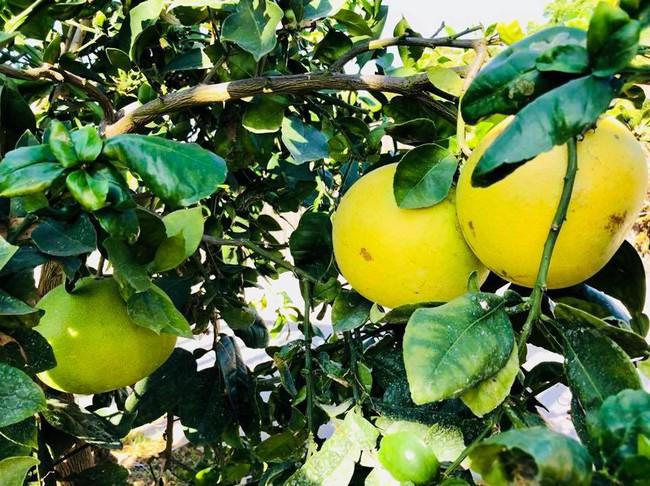 Khu vườn đủ các loại cây quả mang hương vị quê nhà của ca sĩ Bằng Kiều ở Mỹ - Ảnh 14.