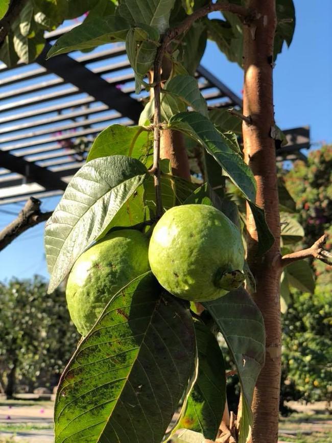 Khu vườn đủ các loại cây quả mang hương vị quê nhà của ca sĩ Bằng Kiều ở Mỹ - Ảnh 13.