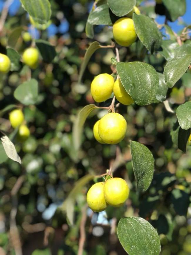 Khu vườn đủ các loại cây quả mang hương vị quê nhà của ca sĩ Bằng Kiều ở Mỹ - Ảnh 3.