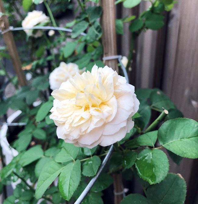 Khu vườn nhỏ xanh mát với rau sạch và hoa hồng trong biệt thự triệu đô của Tăng Thanh Hà - Ảnh 5.