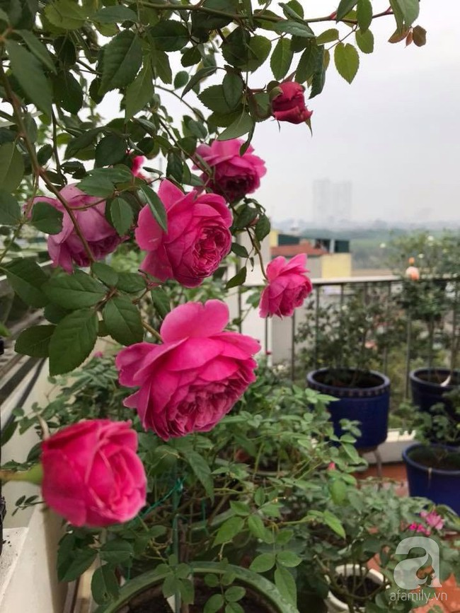 Người phụ nữ tận hưởng hạnh phúc trọn vẹn bên vườn hồng trên cao giữa lòng Hà Nội - Ảnh 20.