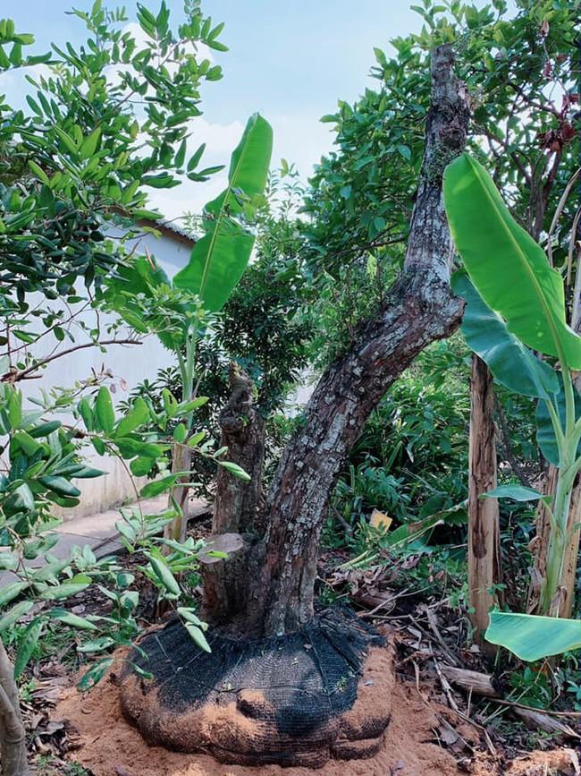 Nhà vườn bình yên và ngập tràn cây ăn quả của diễn viên Việt Trinh ở Bình Dương - Ảnh 7.