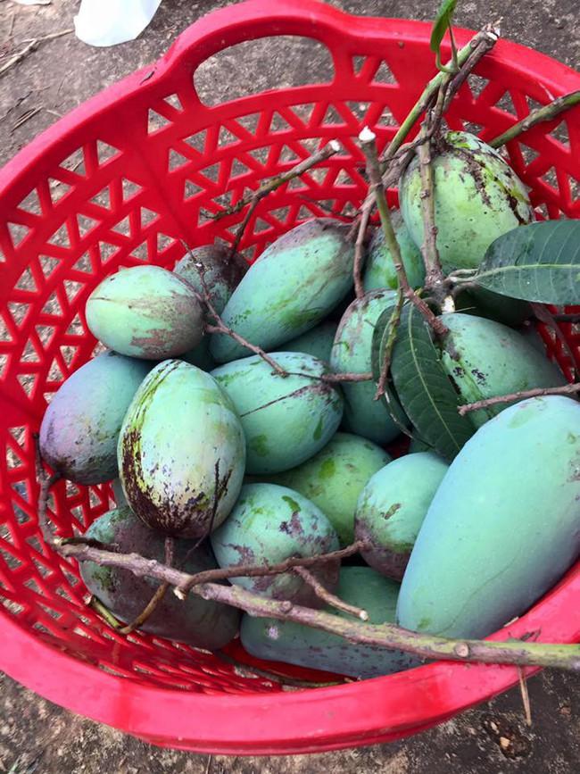Sát Tết, NSƯT Chiều Xuân thu hoạch cả nghìn quả bưởi ở khu vườn của gia đình - Ảnh 26.