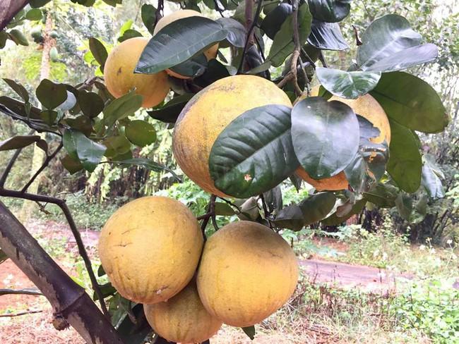 Sát Tết, NSƯT Chiều Xuân thu hoạch cả nghìn quả bưởi ở khu vườn của gia đình - Ảnh 3.