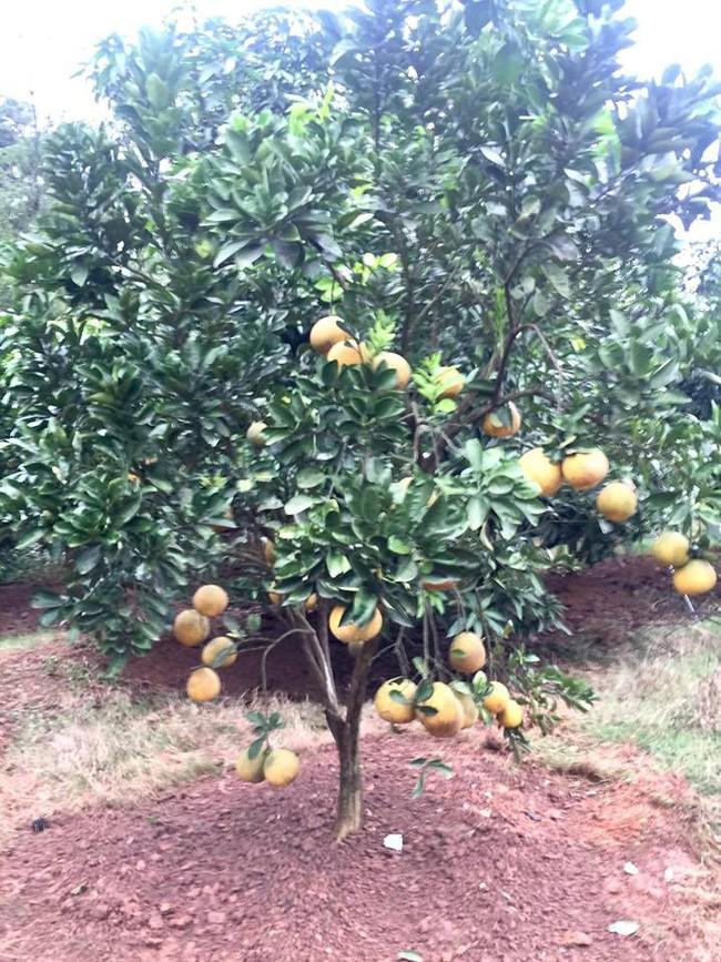 Sát Tết, NSƯT Chiều Xuân thu hoạch cả nghìn quả bưởi ở khu vườn của gia đình - Ảnh 1.