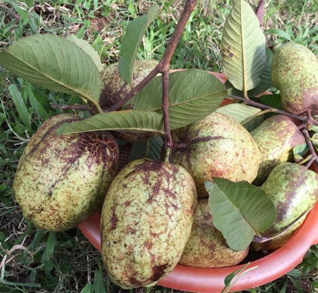 Sát Tết, NSƯT Chiều Xuân thu hoạch cả nghìn quả bưởi ở khu vườn của gia đình - Ảnh 17.