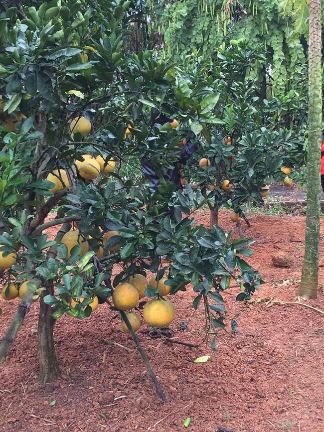 Sát Tết, NSƯT Chiều Xuân thu hoạch cả nghìn quả bưởi ở khu vườn của gia đình - Ảnh 13.