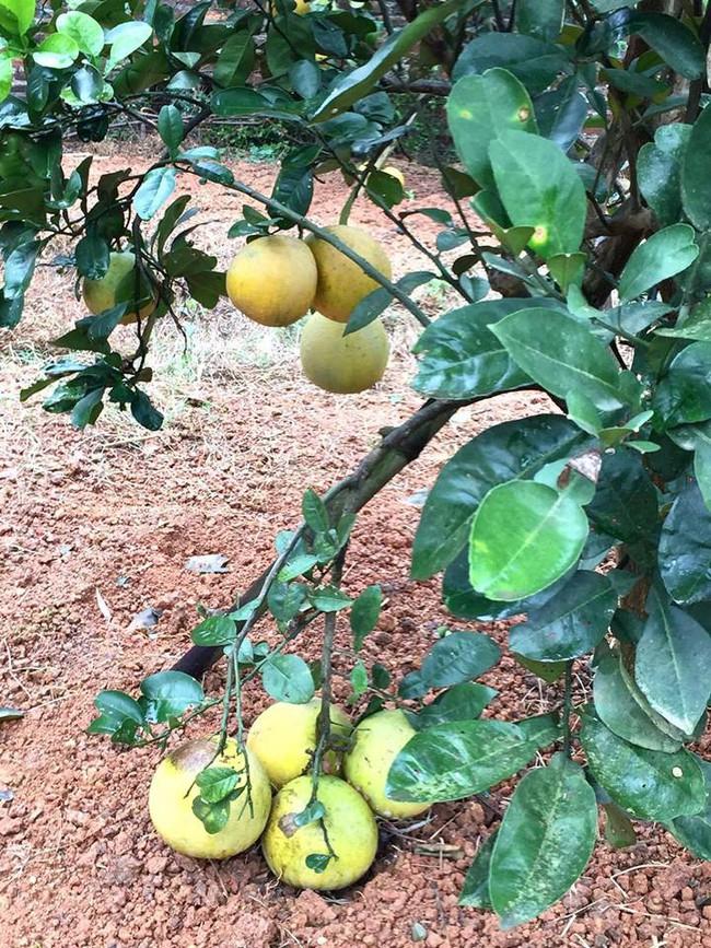 Sát Tết, NSƯT Chiều Xuân thu hoạch cả nghìn quả bưởi ở khu vườn của gia đình - Ảnh 12.