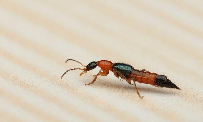 Khuyến cáo cách chống và đuổi kiến ba khoang tại nhà mà không cần dùng tới các hóa chất độc hại - Ảnh 1.