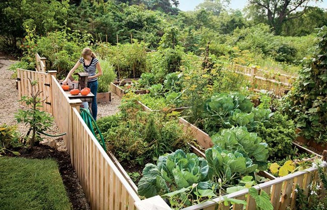Vụ Thu - Đông sẽ không mất công sức và tiền bạc mua rau củ bên ngoài vì gia đình bạn đã có những bữa ăn tươi ngon nhất nhờ biết trồng các loại rau này trong vườn - Ảnh 2.
