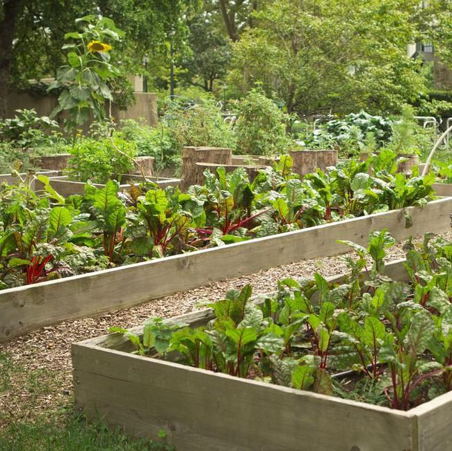 Vụ Thu - Đông sẽ không mất công sức và tiền bạc mua rau củ bên ngoài vì gia đình bạn đã có những bữa ăn tươi ngon nhất nhờ biết trồng các loại rau này trong vườn - Ảnh 3.