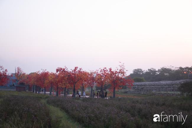 """Sự thật về thảo nguyên hoa với rừng lá phong đỏ cực """"ảo diệu"""", nơi đang hút các gia đình Hà Nội đổ xô đến chụp ảnh cuối tuần - Ảnh 5."""