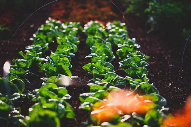 Người đàn ông tự trồng rau quả sạch trên mảnh vườn rộng 225m2 của gia đình ở ngoại ô - Ảnh 2.