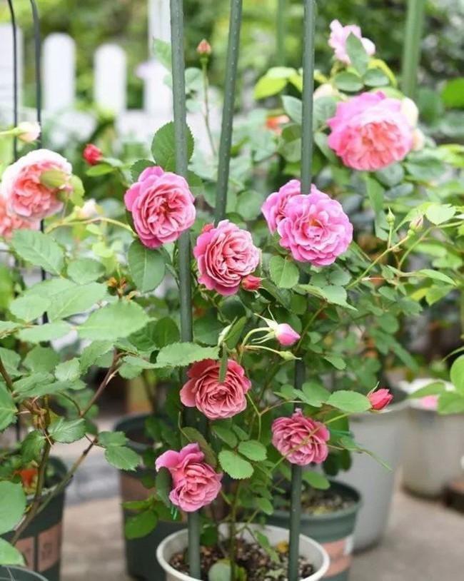 Biến sân thượng trống thành khu vườn đủ loại cây hoa đẹp như công viên, gia đình trẻ khiến nhiều người ghen tị - Ảnh 6.