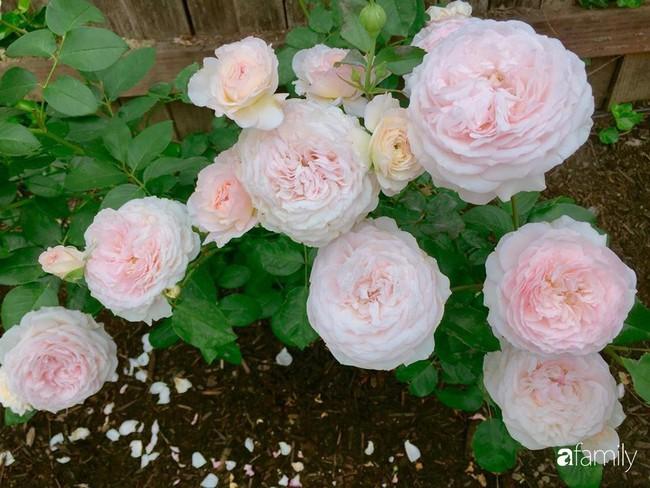 Vườn hồng đầy hoa và nắng của người phụ nữ Việt yêu thích trồng hồng ở Mỹ - Ảnh 18.