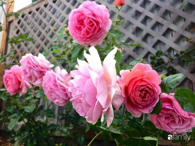Vườn hồng đầy hoa và nắng của người phụ nữ Việt yêu thích trồng hồng ở Mỹ - Ảnh 17.