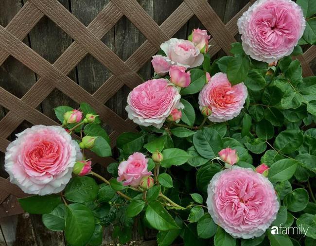 Vườn hồng đầy hoa và nắng của người phụ nữ Việt yêu thích trồng hồng ở Mỹ - Ảnh 14.