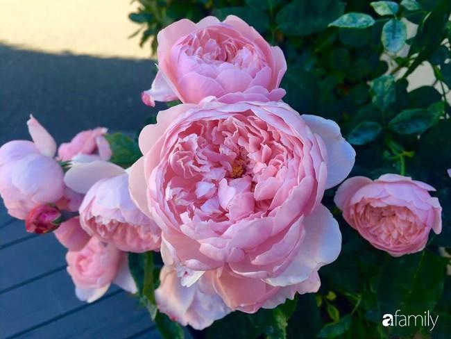 Vườn hồng đầy hoa và nắng của người phụ nữ Việt yêu thích trồng hồng ở Mỹ - Ảnh 11.