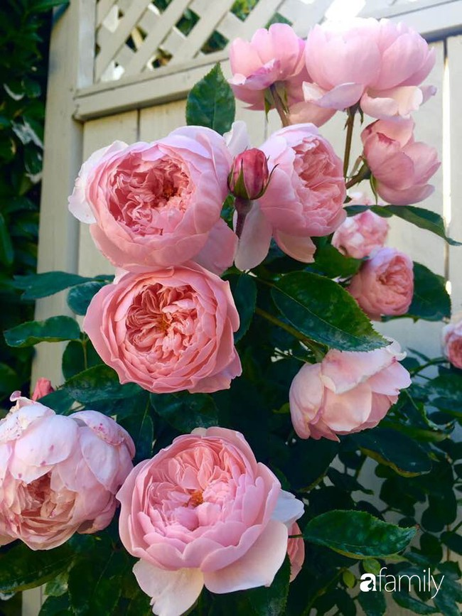 Vườn hồng đầy hoa và nắng của người phụ nữ Việt yêu thích trồng hồng ở Mỹ - Ảnh 10.
