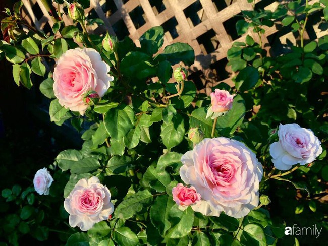 Vườn hồng đầy hoa và nắng của người phụ nữ Việt yêu thích trồng hồng ở Mỹ - Ảnh 2.